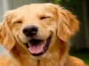 Laughing-Golden-1140x760